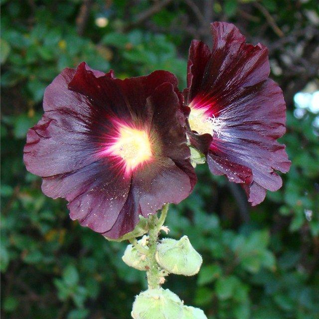 Цветок шток роза выращивание из семян 38