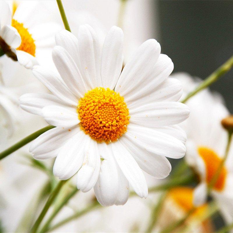 Ромашка садовая многолетняя - посадка и уход, размножение 49