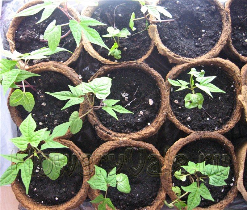 ипомея выращивание из семян