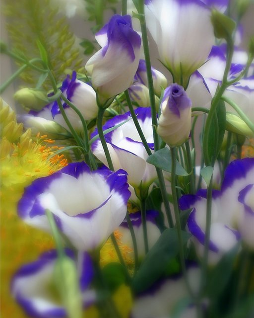 эустома садовая