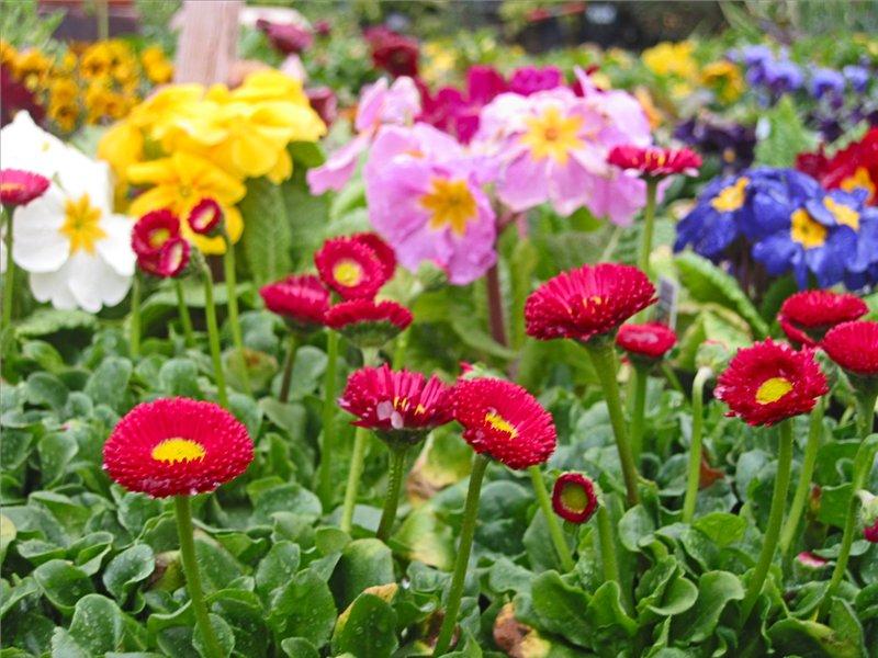 картинки маргаритка цветок