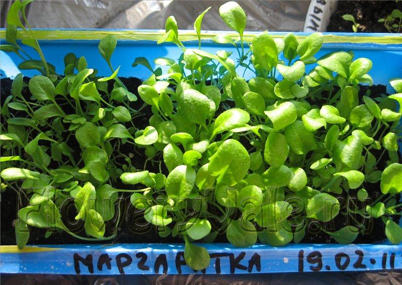 Маргаритка выращивание из семян в домашних условиях