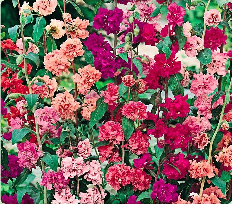 Кларкия махровая — FloweryVale.ru Перегной из Листьев