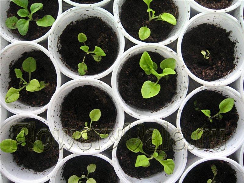 Петуния выращивание рассады в домашних условиях 99