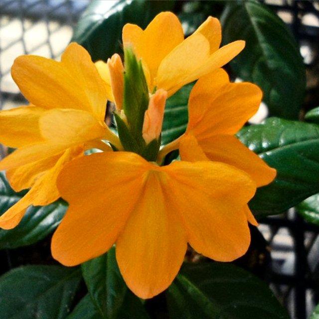 Цветок кроссандра - уход и 79