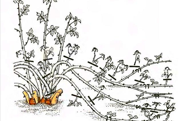 Обрезка почвопокровных роз осенью