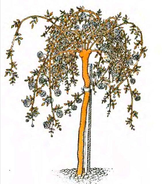 Рис. 6. Штамбовая роза с плакучей формой кроны.