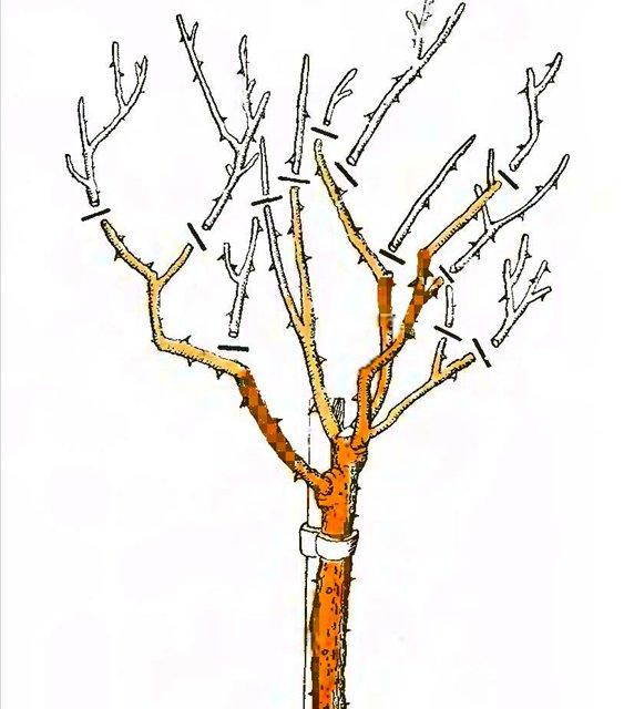 Как сделать дерево штамбовым 415
