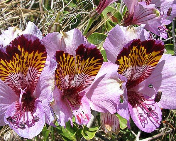 Альстромерия выращивание из семян 444