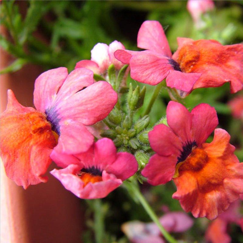 немезия в саду