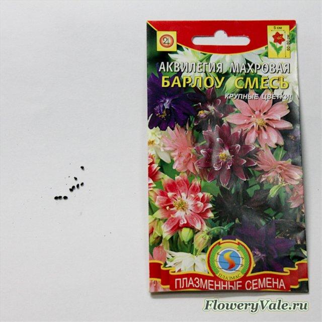 Хризантема из семян на рассаду
