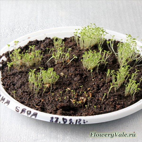 Как сажать гортензию в семенах 678