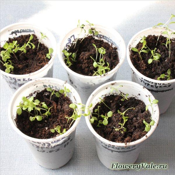 Гвоздика турецкая выращивание из семян рассадой 10