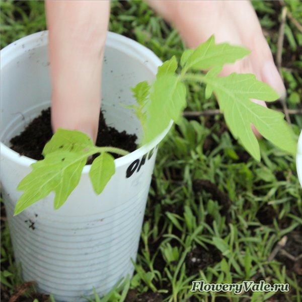 Флокс однолетний выращивание и 97