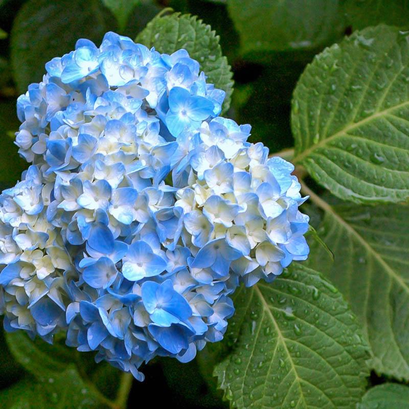 Чем поливать цветы гортензия