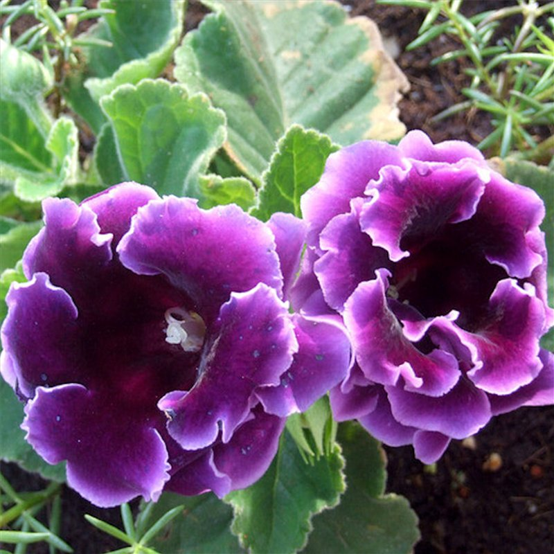 Выращивание глоксинии: 17 проблем и их решение ...