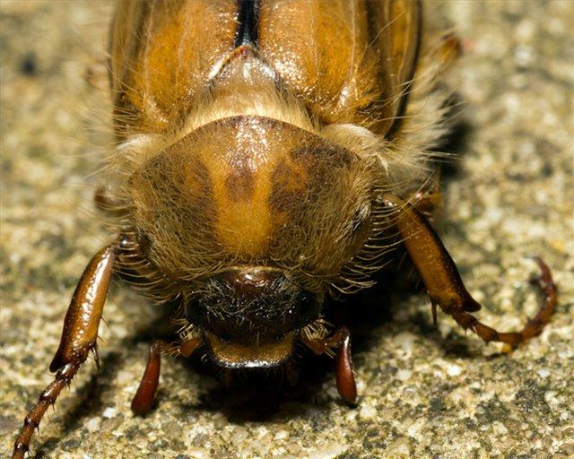 преобладает майский жук с