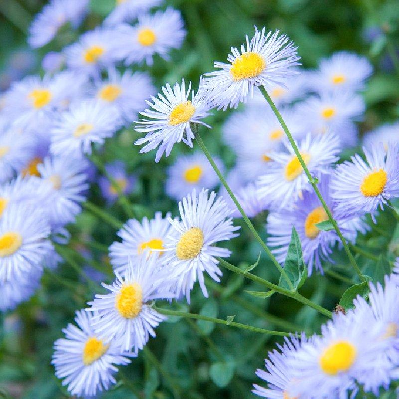 картинка осенние цветы
