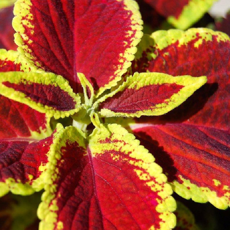 Цветок колеус уход в домашних условиях разновидности