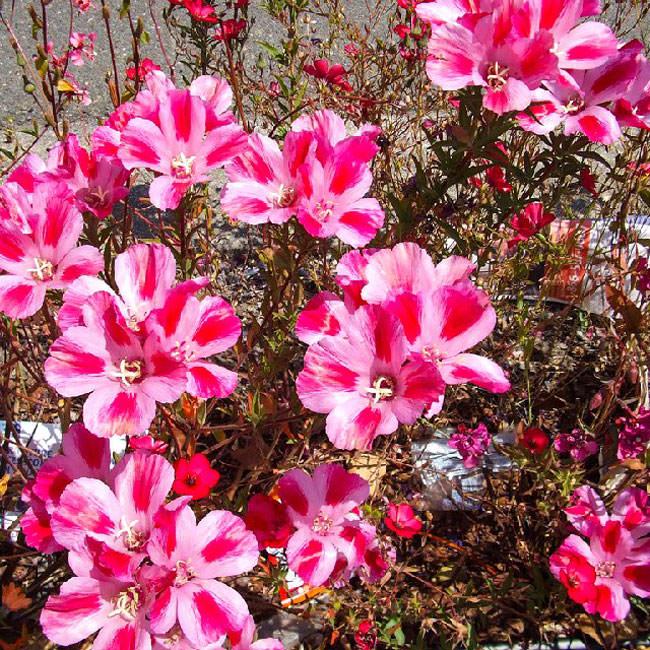 Годеция - Комнатные цветы