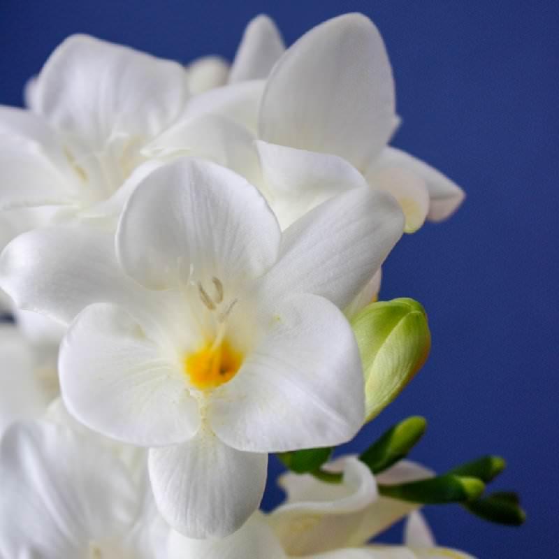 Цветок фрезии в домашних условиях 68
