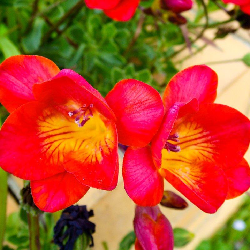 Цветок фрезии в домашних условиях 100