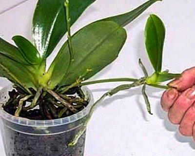 Как черенковать орхидею в домашних условиях видео - Mosstroyservice