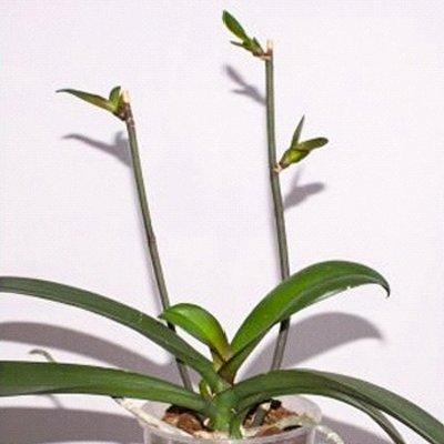Размножение орхидей в домашних условиях Образцовая