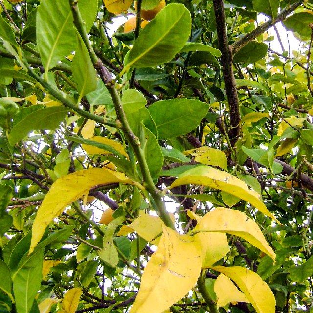 Почему листья у клубники светло зеленые
