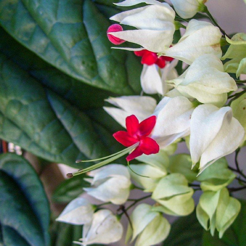 цветы клеродендрум