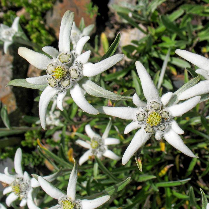 растение эдельвейс