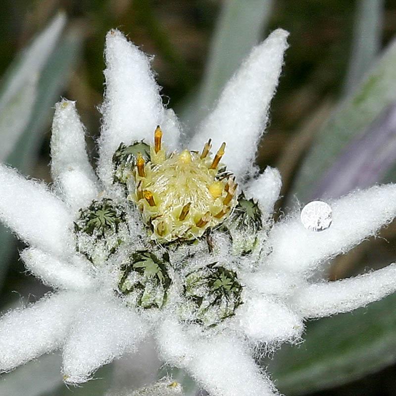 Эдельвейс из семян в домашних условиях