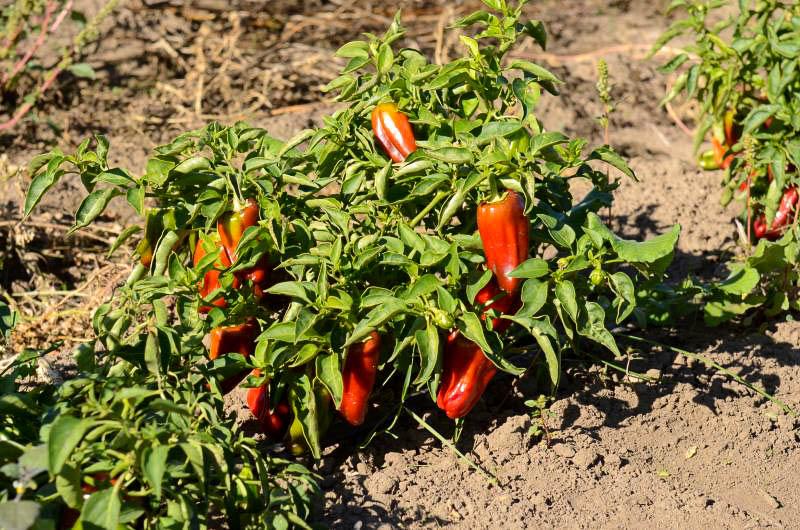 Выращивание перца в открытом грунт 325