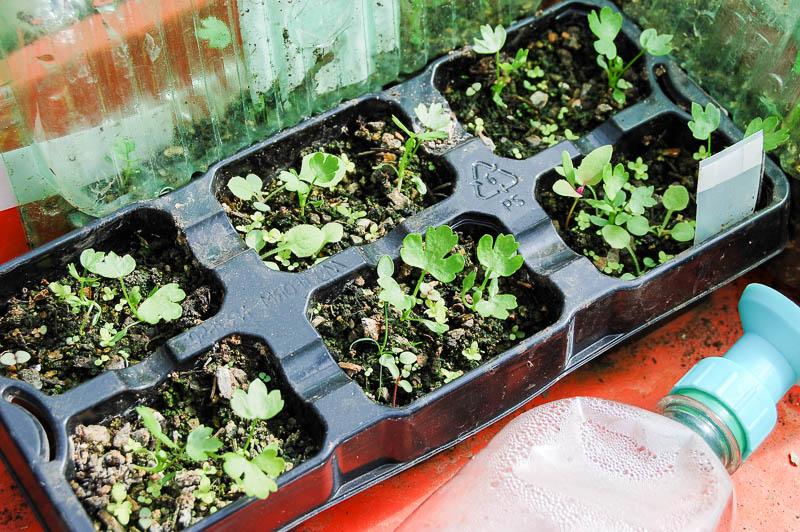Как сажать семена сельдерея 85