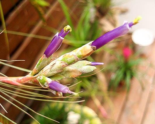 Тилландсия ситниковая (Tillandsia juncea)
