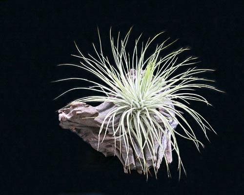 Тилландсия Магнуса (tillandsia magnusiana)