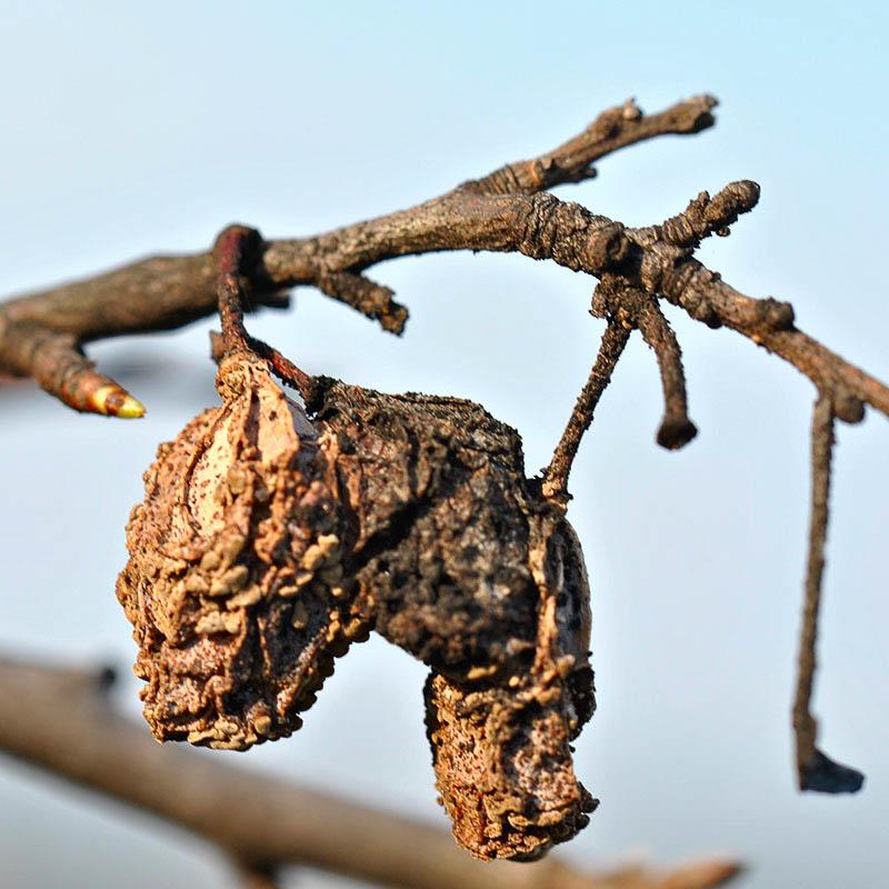 Виноград по забору пудинг при