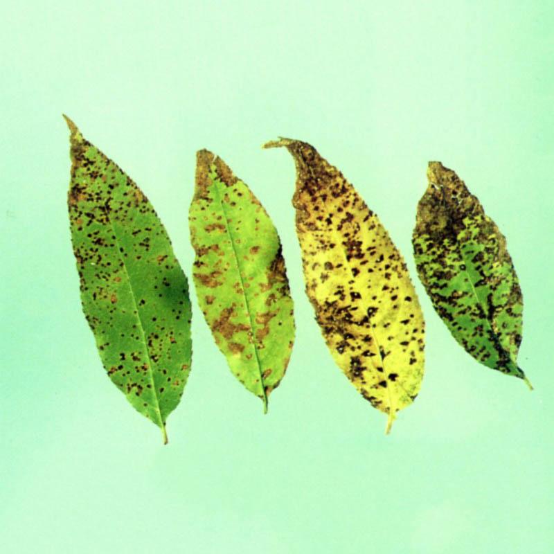 Бурая пятнистость листьев яблони