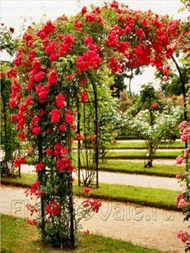 Розы рамблер — имеют длинные гибкие