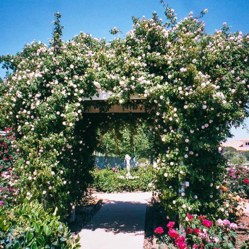 Современные садовые розы полиантовые