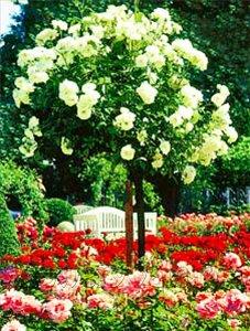 фото розы шрабы