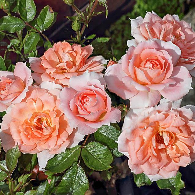 Современные садовые розы розы патио