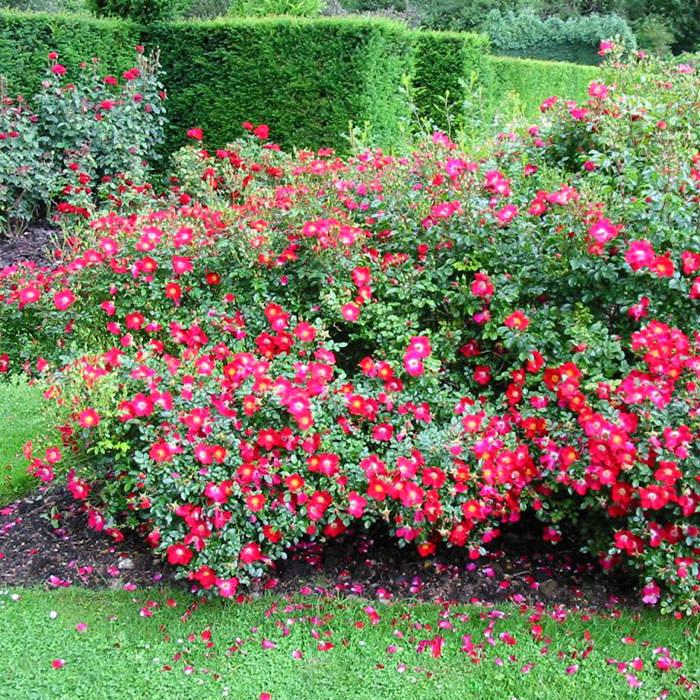 Садовые розы почвопокровные розы