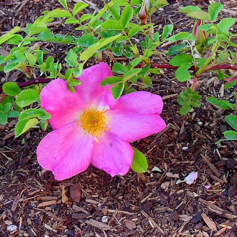 Современные садовые розы гибриды