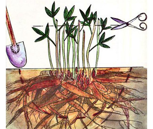Как пересаживать пион и когда