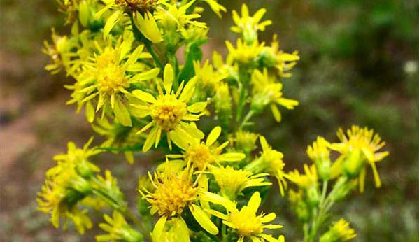 Solidago_virgaurea_04