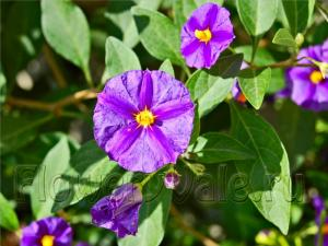 Terrace_02_Solanum-rantonnetil