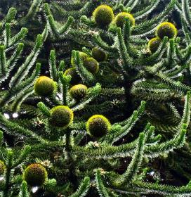 World_Araucaria_03