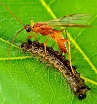Взрослое насекомое наездник-браконид