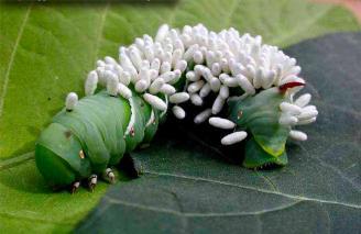 Личинки наездника-браконида, пожирающие гусеницу капустной белянки